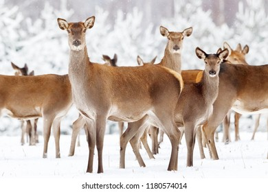 Group of beautiful female deer on the background of a snowy winter forest. Artistic Christmas winter image.