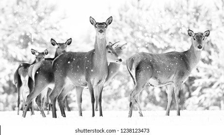 Group of beautiful female graceful deer on the background of a snowy winter forest. Noble deer (Cervus elaphus). Black and white photo.