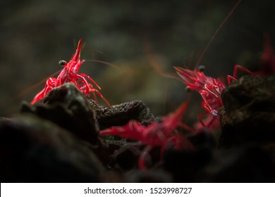 Group of beautiful fresh red Dancing shrimp (Hinge-beak or Camel shrimp, science name: Rhynchocinetes durbanensis) walking on dark stone in a clear saltwater of marine aquarium tank. Selective focus.