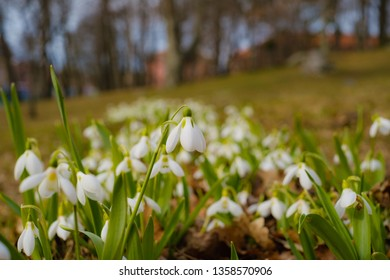 Group of beautiful fresh snowdrops in early spring - Image