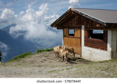 Group of beautiful  horses of brown color stay near the wood house in highly of the mountains, Tirol, Austria. Landscape with horses on a green summer meadow with mountains on the horizon.