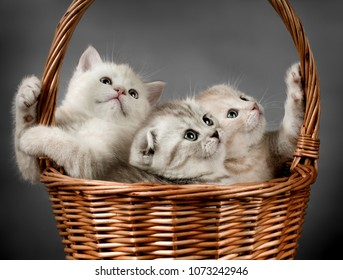 group of beautiful kitten scottish-fold, look on camera, on grey background