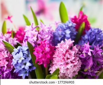 Group of beautiful multicolored hyacinths