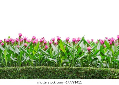 A group of beautiful Siam Tulip flower, or well known by Thai local name as 'Dork Krajeaw' in the garden for declaration, isolated on white background with added clipping path