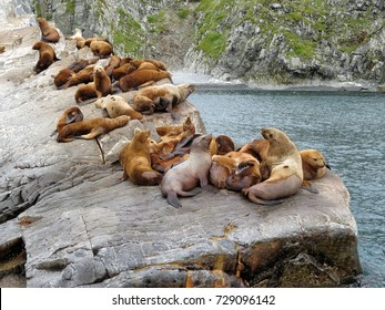A group of beautiful Steller sea lions, located on a rocky ledge near the water, Kamchatka Peninsula, Russian Far East