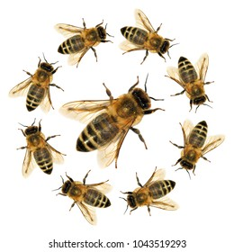 group of bee or honeybee in the circle in Latin Apis Mellifera, european or western honey bees isolated on the white background