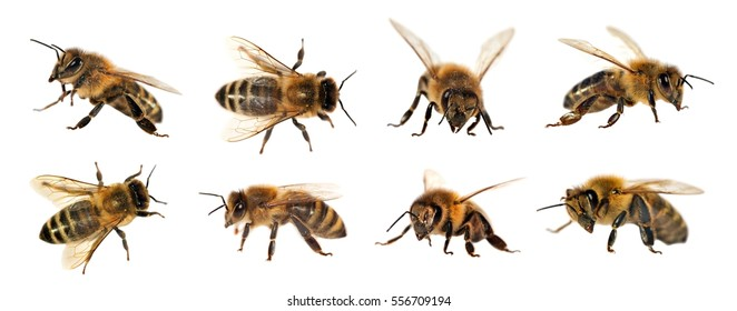 group of bee or honeybee in Latin Apis Mellifera, european or western honey bee isolated on the white background