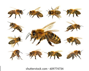 group of bee or honeybee in Latin Apis Mellifera, european or western honey bee isolated on the white background, golden honeybees