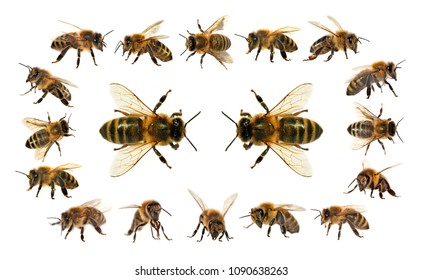 group of bees or honeybees in Latin Apis Mellifera, european or western honey bee isolated on the white background