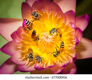 Group of bees seek for food inside colorful lotus in the pond.
