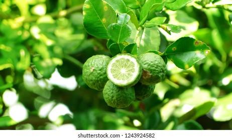 Group of bergamot fruit and leaves on tree.