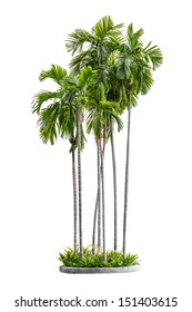 group of betel palm trees isolated on white background