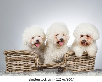 Group of Bichon Fries dogs. Three dog as a team.
