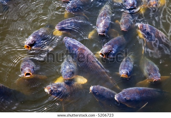 Group of big carps trying to get food