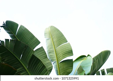 Photo of Group of big green banana leaves of exotic palm tree in sunshine on white background. Tropical plant foliage with visible texture. Pollution free symbol. Close up, copy space.