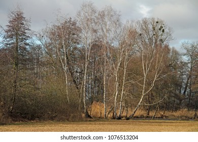 a group birches trees
