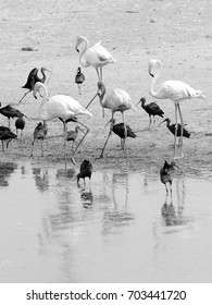 Group of birds (Flamingo and Glossy Ibis) on the coast. B&W