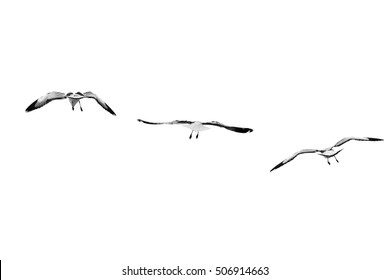 Group of birds flying on clear sky (Black and White), Isolated on white background