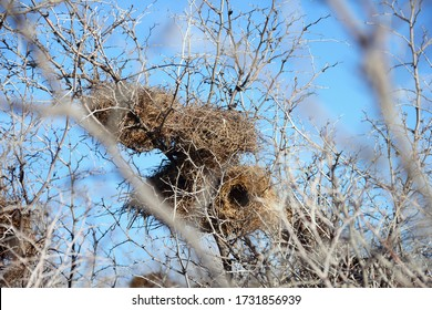 A group of birds nests made of twigs and grass on dry prickly thorn bush at the background of light blue sky. Beautiful nature view in Fes (fez) region, Morocco, Maghreb, North West Africa.
