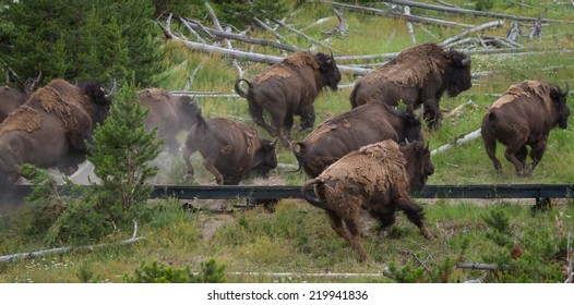 group of bison running over the boardwalk in yellowstone national park