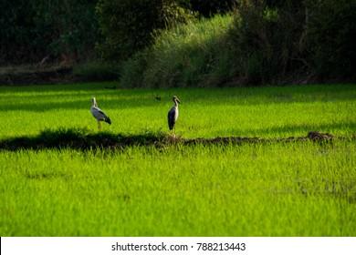 Group of Bittern, Ibis, Heron, Spoonbill, Stork bird in farmland