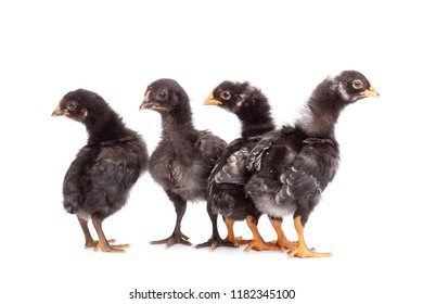 Group of black chickens looking with suspicion and mistrust - isolated on white