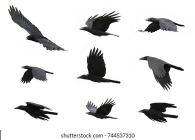 Group of black crow flying on white background.