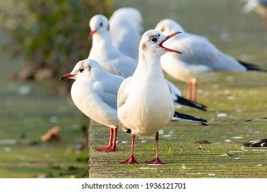 A group of black headed gulls in winter basking in sunrise warmth with beak open. Most of the year these birds have white heads and are not classed as seagulls. Spotted in Norfolk England