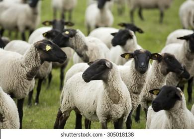 Group of black- headed sheep