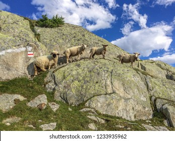 A group of black nose sheep on a rock, they are well adapted to grazing on the stony pastures. Aletsch glacier, Switzerland, Swiss Alps. Animal photos