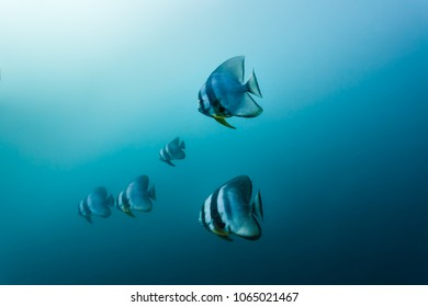 Group of black vertical striped fish swimming in blue ocean