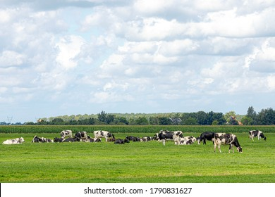 A group of black and white Dutch cows walking and eating grass on the green meadow under blue sky in summer, Open farm with dairy cattle on the field in countryside farm, Netherlands.