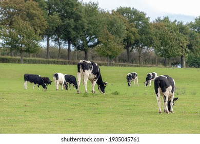 A group of black and white Dutch cows standing on the hillside meadow, Open farm with dairy cattle on the green grass field in countryside of Limburg is the most southern province of the Netherlands.