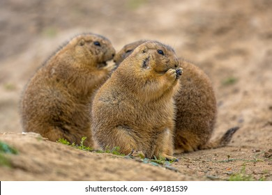 Group of black-tailed prairie dogs (Cynomys ludovicianus) eating food and socializing in natural desert environment