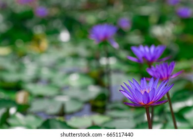 Group of blooming violet water lilies in the midst of lily pads on a pond