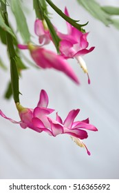 Group of blossoming Christmas Cactus of the S.Reginea Group 'Bristol Queen'  with vivid pinkish red and white petals on a white background with white background,vertical format