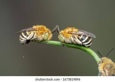 Group of blue banded bees sitting on a green plant with their fangs and pointy antennas