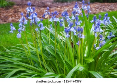 A group of Blue Bells in a garden bed at Mount Tomah Botanic Garden in the Blue Mountains, New South Wales, Australia