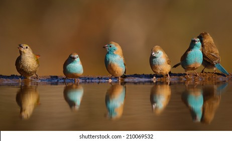 Group of blue birds with one odd bird at still pond