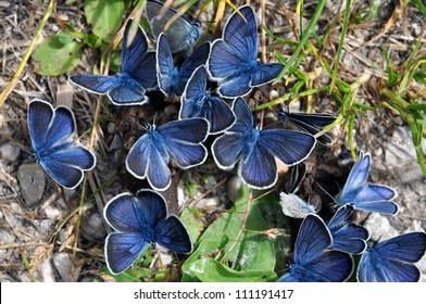 Group of blue Mazarine butterflies on manure