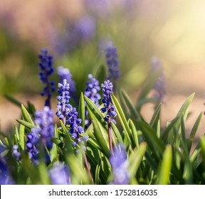A group of Blue Muscari flowers (Grape hyacinth) blooming in spring garden. Muscari armeniacum grow in warm sunlight among blurred green grass background. Blue Mouse Hyacinths close up