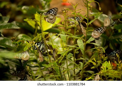 Group of Blue Tiger ( Tirumala limniace) butterflies on a plant