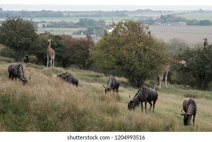 Group of blue wildebeest in grassland with giraffes in background. Photographed at Port Lympne Safari Park near Ashford Kent UK.