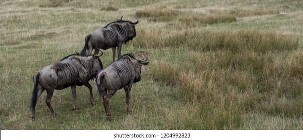 Group of blue wildebeest in grassland. Photographed at Port Lympne Safari Park near Ashford Kent UK.