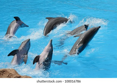 A group of  bottlenose dolphins ( Tursiops truncatus) diving out of the water