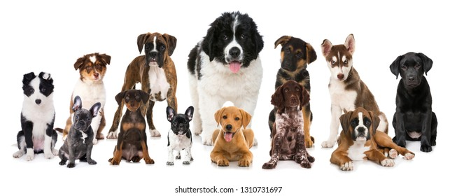 Group of breed puppies on white background