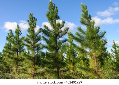 Group of bright green pine trees in forestry plantation with blue sky. Australia.