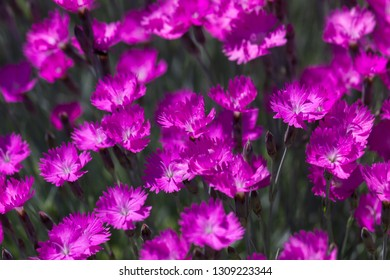 A group of bright pink dianthus flowers with blurred edges and background.