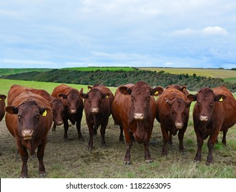 A group of British Red Poll cows facing the viewer with Devon hills in the background.