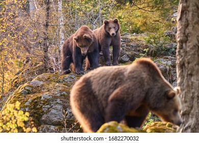 Group of  Brown bears, Ursus arctos, mother with two older cubs in autumn european forest. Mother bear with two cubs on rock.  Bear in typical spruce environment in autumn period. Slovakia border.